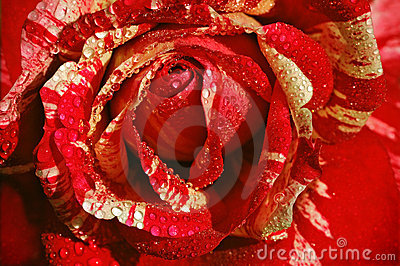 Red-white rose