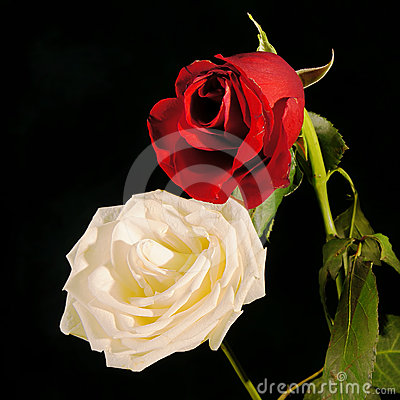 Red and white roses against a dark background