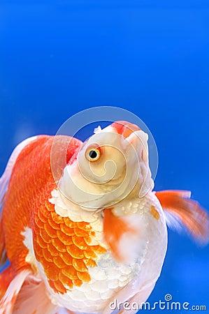 ryukin goldfish ile ilgili görsel sonucu