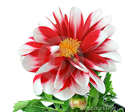 Red and White Striped Dahlia with pollen