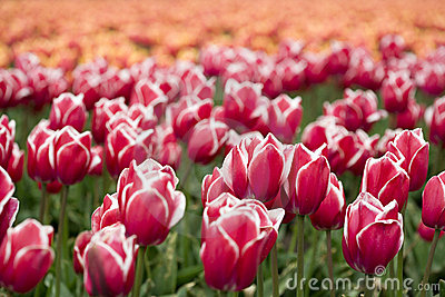 Red-white tulips on a field