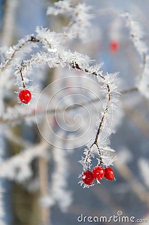 Red wild berries in winter season
