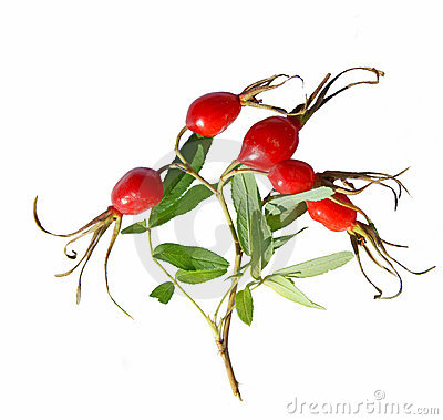 Red wild rose fruit