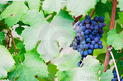 Red wine grape