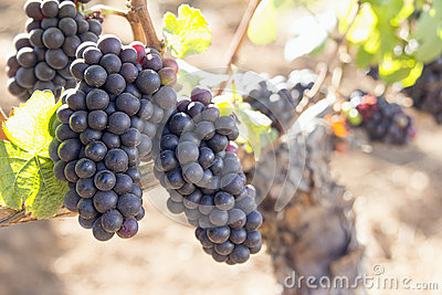 Red Wine Grapes Growing on Old Grapevine