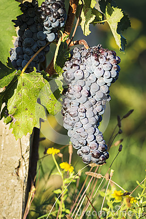 Red wine grapes Tuscany