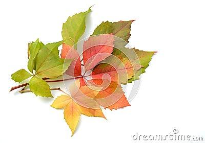 Red wine leaves
