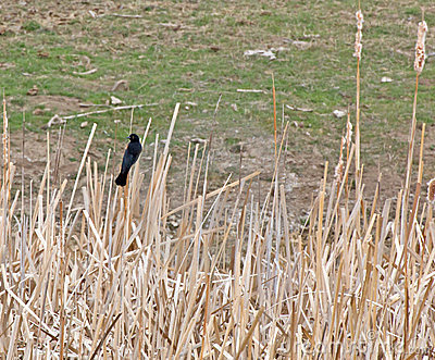 Red-Winged Blackbird Male In Cattails