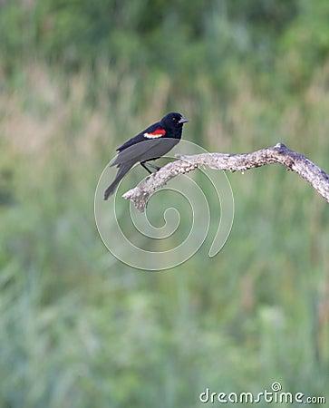 Red-winged Blackbird In Serene Solitude