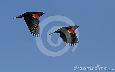 Red winged blackbirds in flight