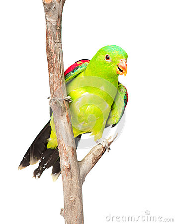 Free Red-Winged Parrot (Aprosmictus Erythropterus) In Front. Isolated Stock Photo - 55866730