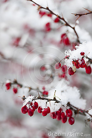 Free Red Winter Berries Under Snow Royalty Free Stock Images - 31256189