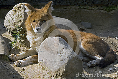 Red wolf 1