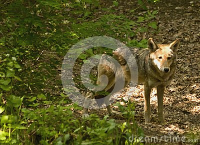 Red wolf in woods