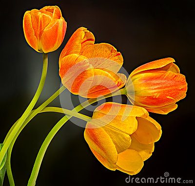 Free Red, Yellow And Orange Tulips Flowers, Floral Arrangement, Close Up, , Black Background Stock Images - 54037434