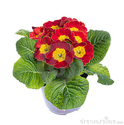 Red and yellow flowering potted primrose