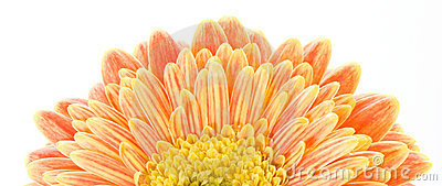 Red and yellow gerbera macro