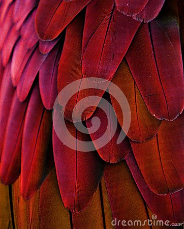 Free Red/Yellow Macaw Feathers Royalty Free Stock Photo - 44000545
