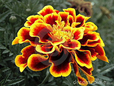 Red & Yellow Striated Marigold