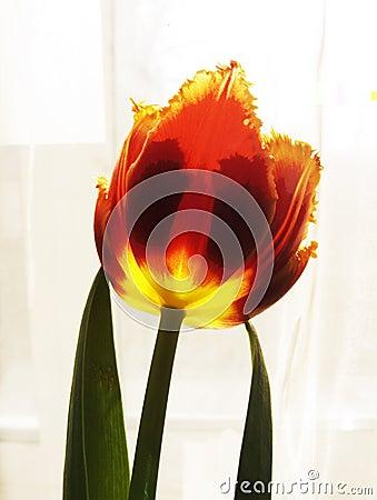 Red - yellow tulip-2