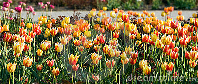 Red  and yellow  tulip flowers.