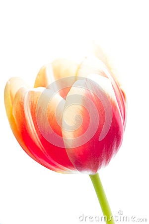 Tulip on the white background