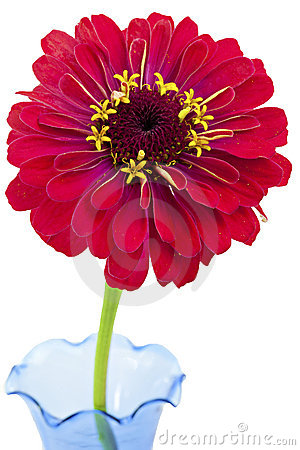 Zinnia Flower on Red Zinnia Flower On White Background Royalty Free Stock Photography