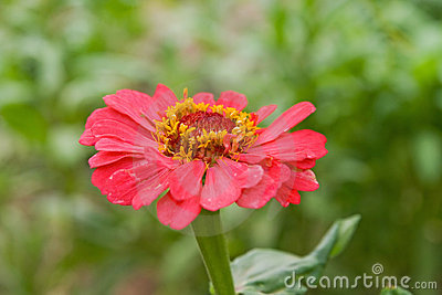 Red zinnia in a garden