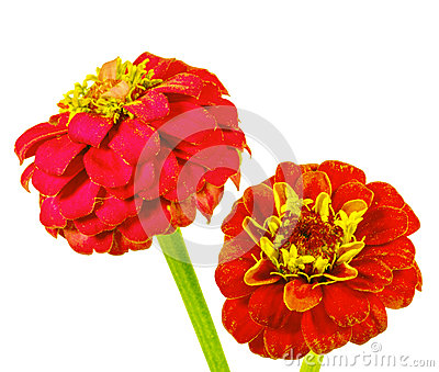 Red zinnia in a white background