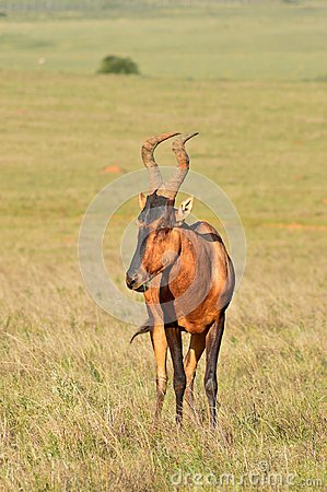Free Red_Hartebeest_Grazing In South Africa Royalty Free Stock Image - 119187946