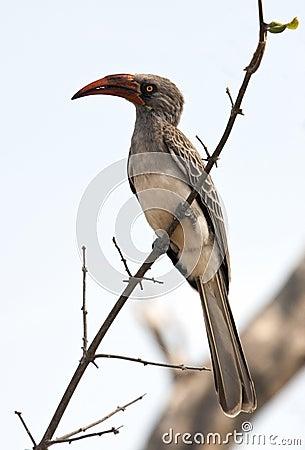 Redbilled Hornbill - Namibia