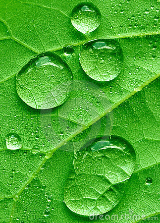 Redbud leaf and raindrops