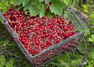 Redcurrant in basket