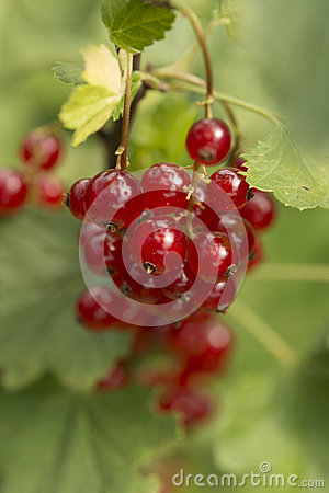 Redcurrent fruits on sprig - close-up