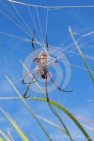 Reddish brown spider against blue sky
