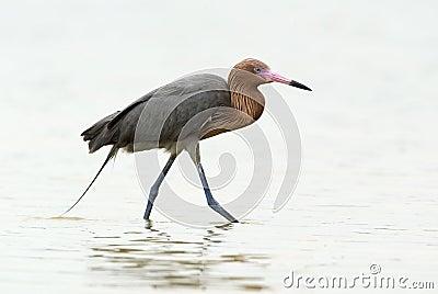 Reddish Egret (Dichromanassa rufescens)