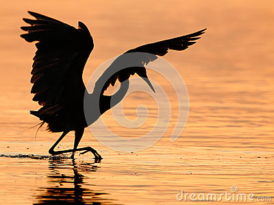 Reddish Egret Hunting