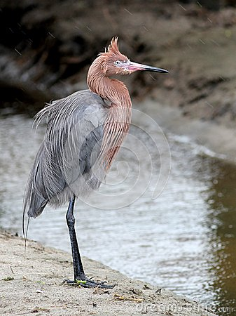 Free Reddish Egret In The Wind Stock Images - 29332094