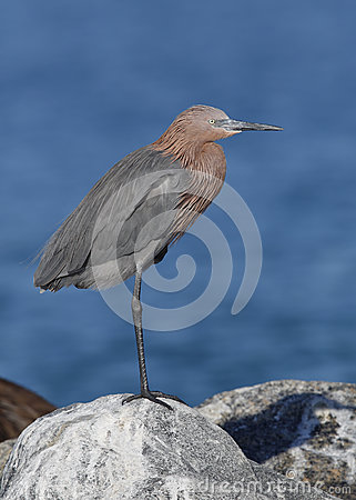 Free Reddish Egret Perched On A Rock - Florida Royalty Free Stock Image - 83309336