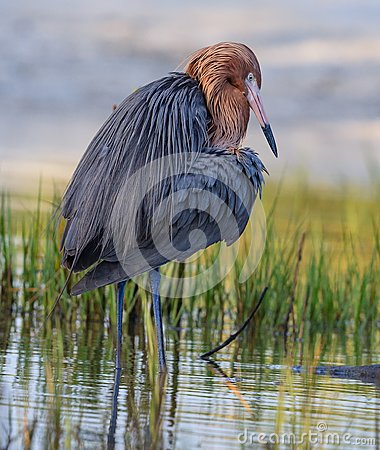 Free Reddish Egret With Bright Red Head Of Breeding Colors Stock Photography - 110345012