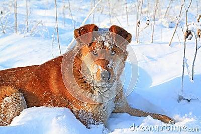 Redhead dog