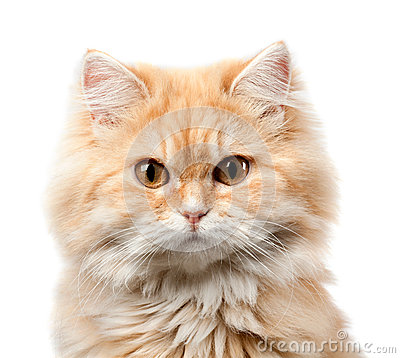 Free Redhead Hairy Cat Portrait Royalty Free Stock Photography - 36140247