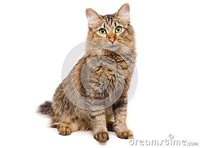 Redheaded cat