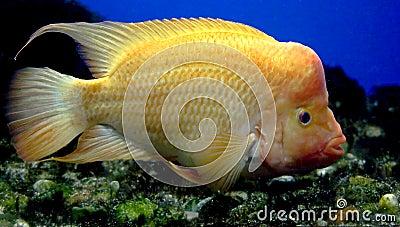 Redheaded Cichlid 2