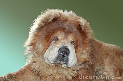 Redheaded dog