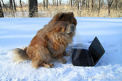 Redheaded dog and  laptop