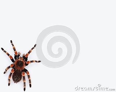Redknee tarantula isolated against white