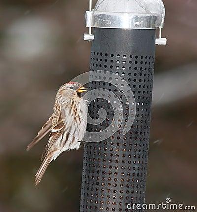 Redpoll bird