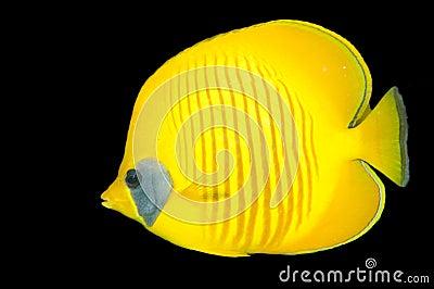Redsea butterflyfish