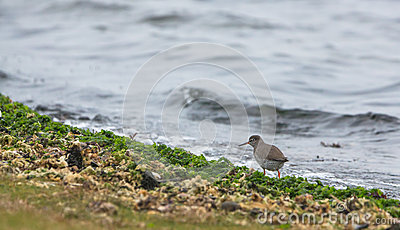 Redshank at the beach